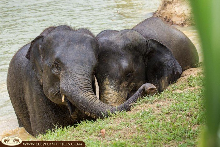 The Elephant Hills Thailand family includes 12 amazing elephant ladies, who love each other