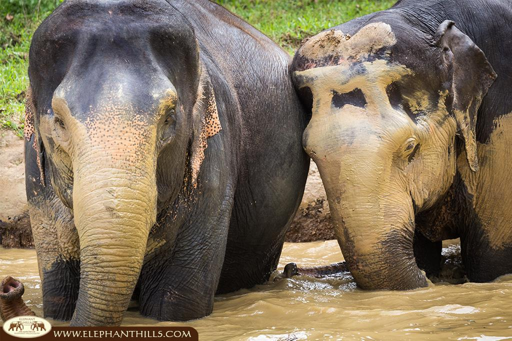 Elephant Hills mudbath to protect their skin