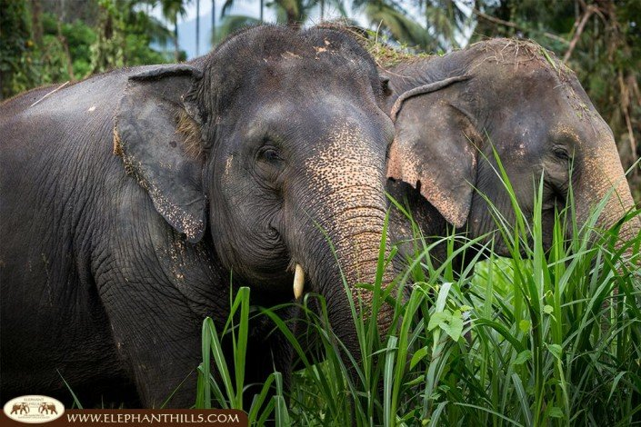Elephant conservation at Elephant Hills Thailand, Khao Sok National Park