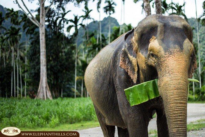 Besides Fruits, sugar cane and banagras our elephant ladies like banana leaf