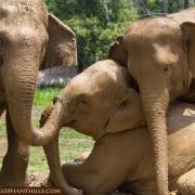 Muddy elephants enjoying the sunshine in chain-free park at Elephant Hills, Khao Sok