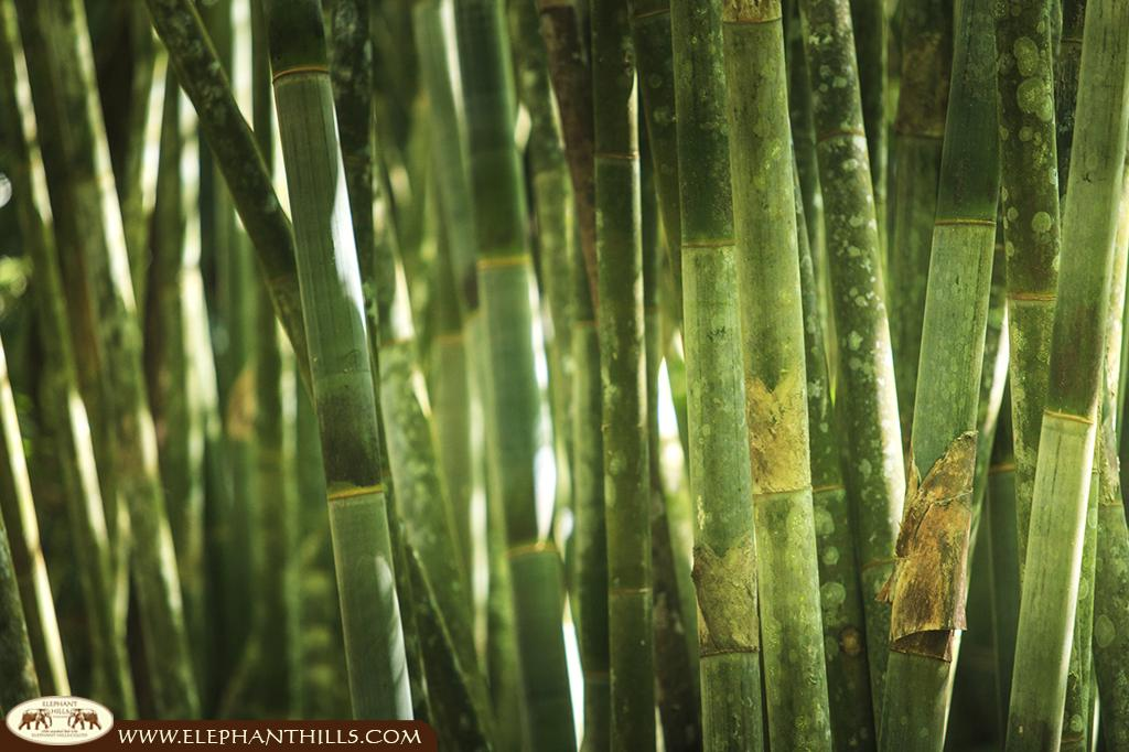 Giant Bamboo in Southern Thailand's rainforest