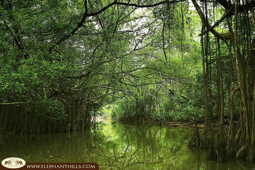 An unspoiled channel of the Mangroves captured at the Elephant Hills Rainforest Nature Safari