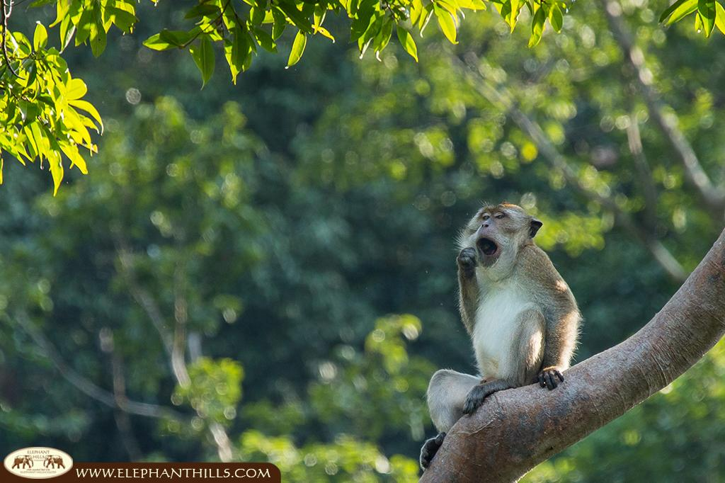 Yawing short-tailed macaque