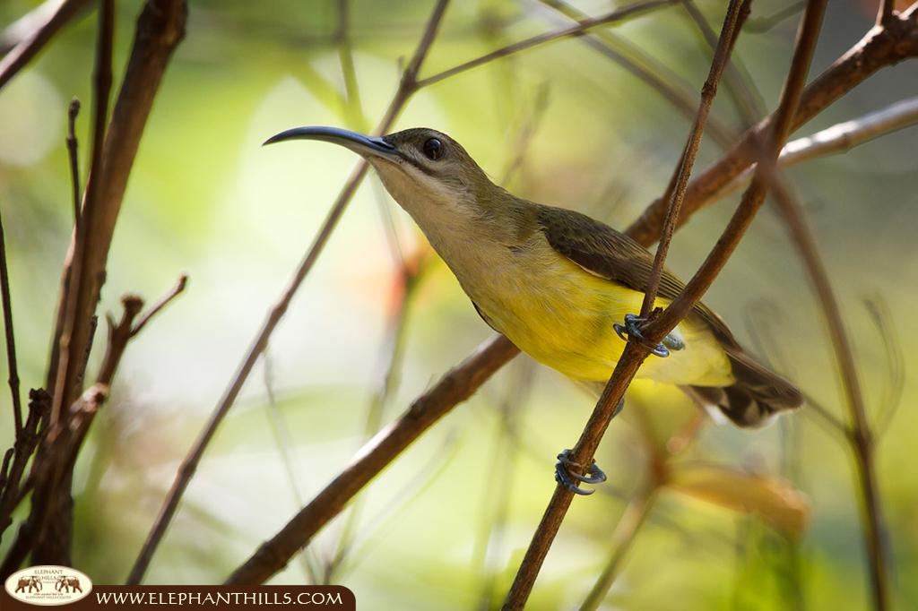 Little spiderhunter sitting on a small branch