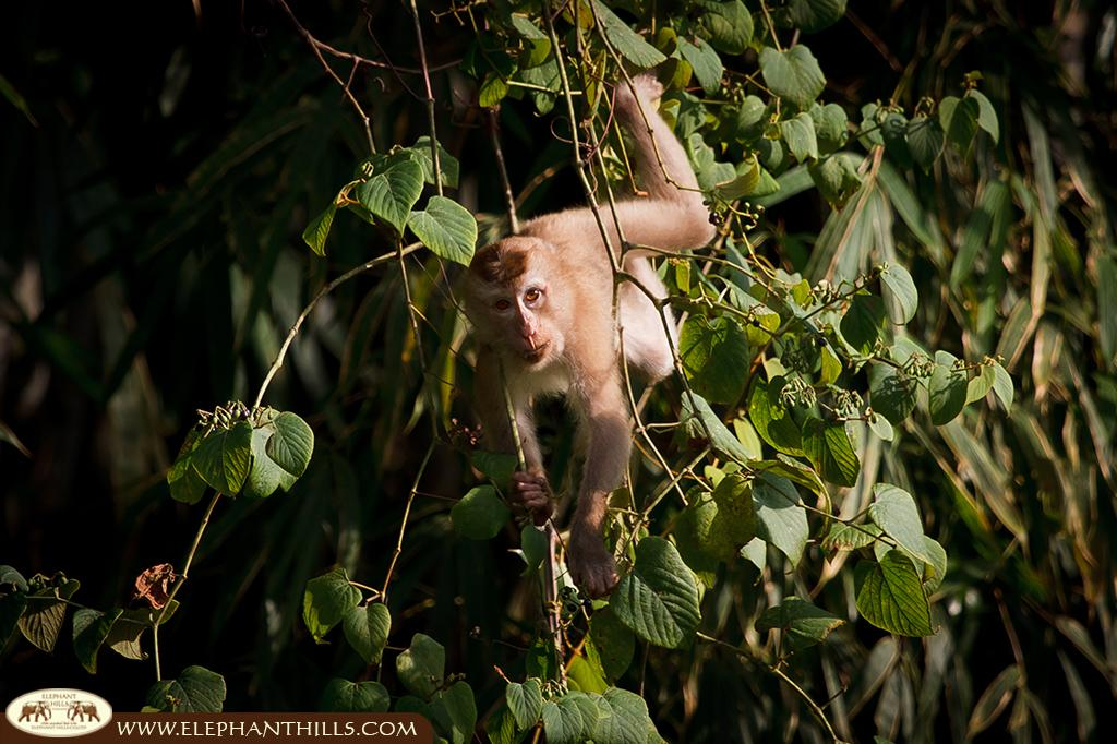 Short-tailed macaque staring in our camera