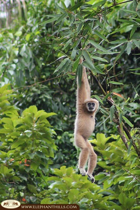 A white-handed gibbon hanging in a tree behind the Rainforest Camp