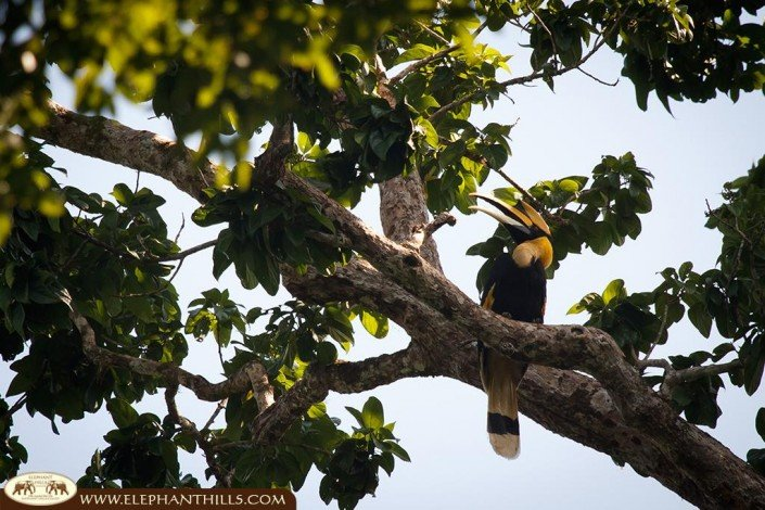 A great picture of a great hornbill sitting high up in the trees