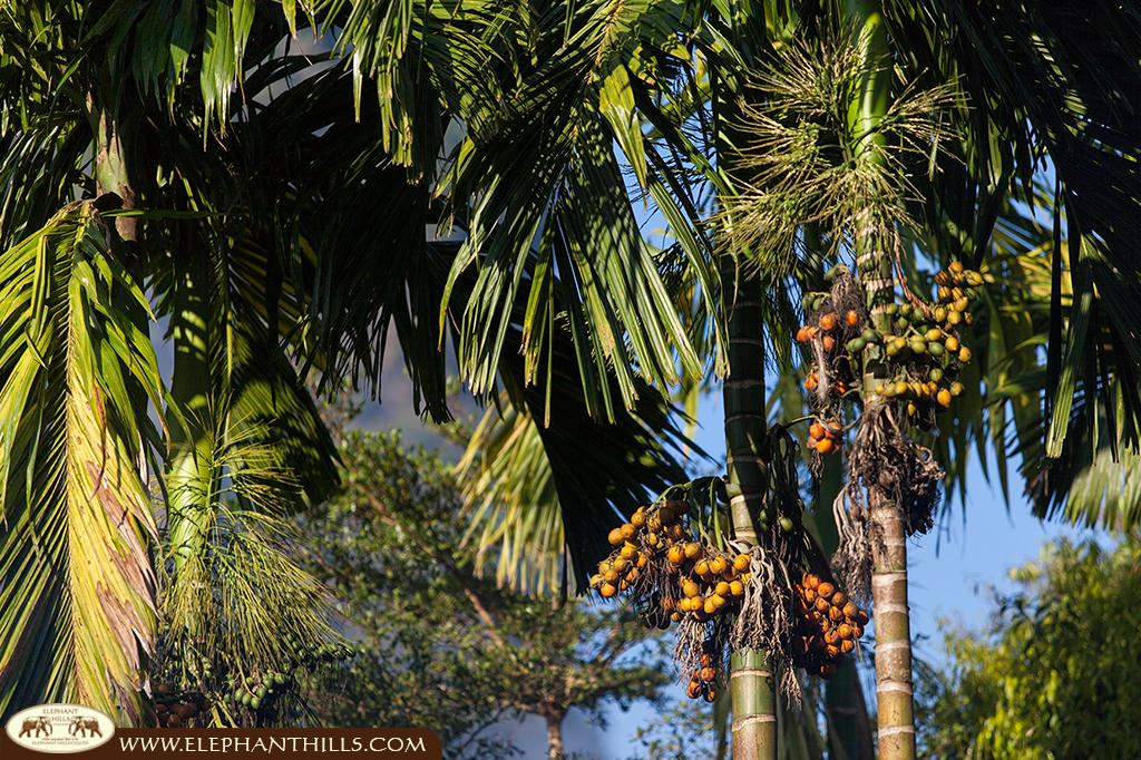 Showing the fruits of the Areca tree, the betle nuts