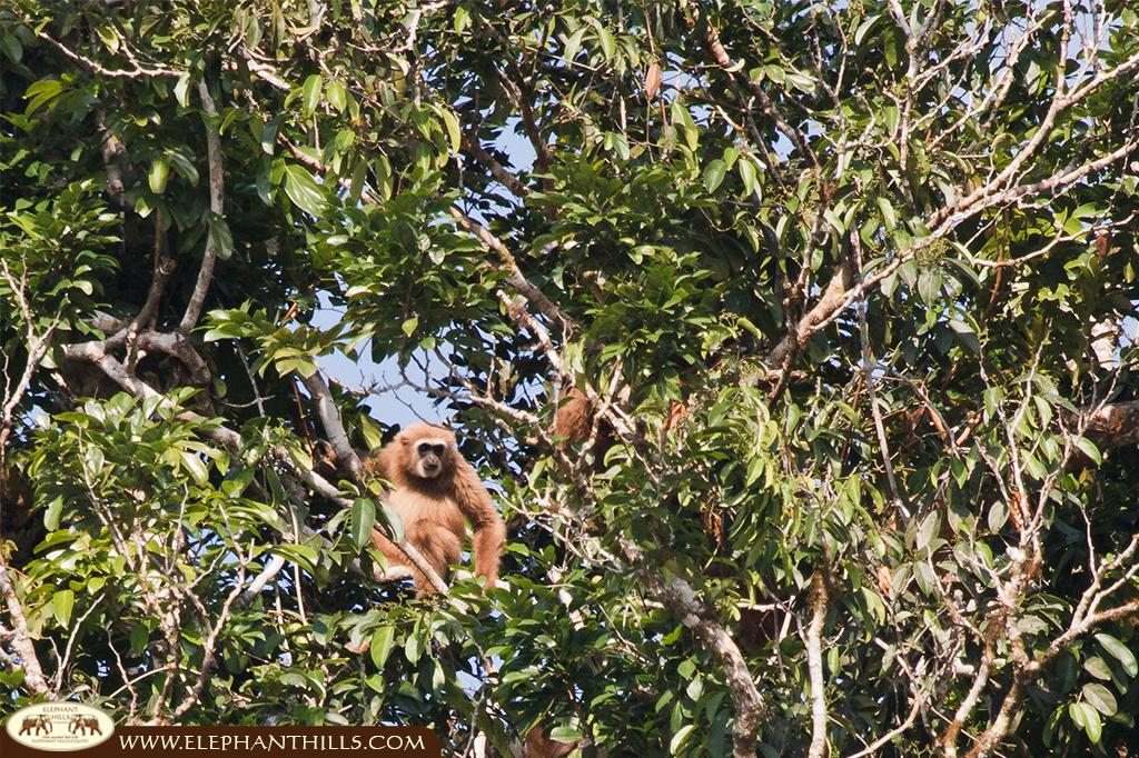 White-handed gibbon family spotted while kayaking