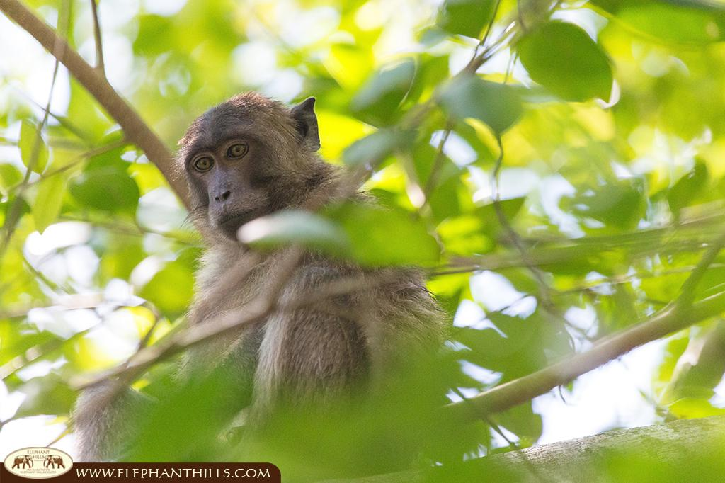 You can see a male of the macaque monkey sitting in the trees staring at something further down