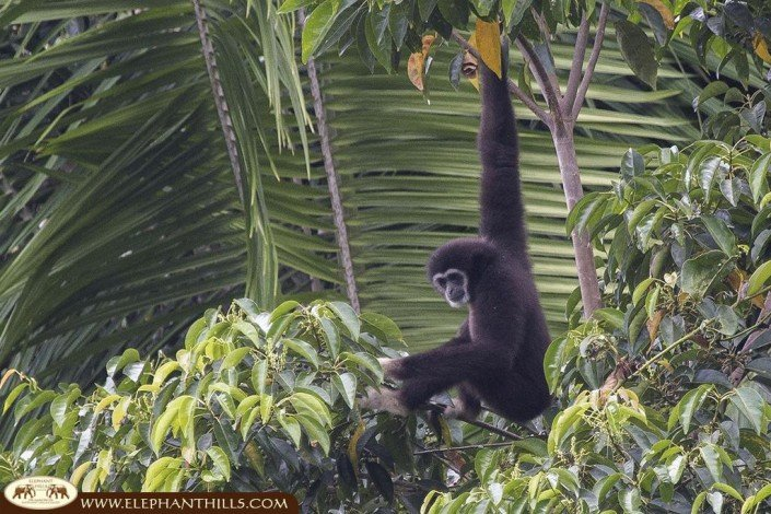 A black-crested gibbon ape is hanging from a branch grabing it with just one arm