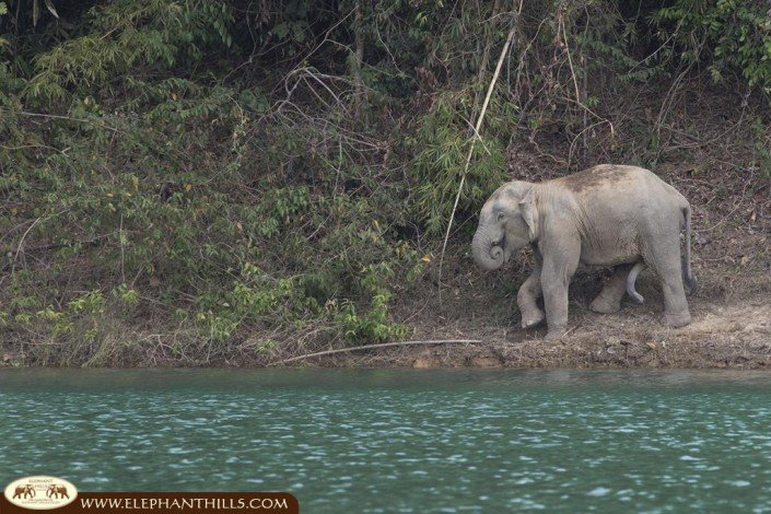 A wild asian bull-elephant passing the lakeside