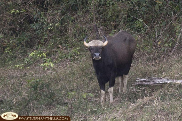 A black gaur being spotted next to the Rainforest Camp at the lakeside