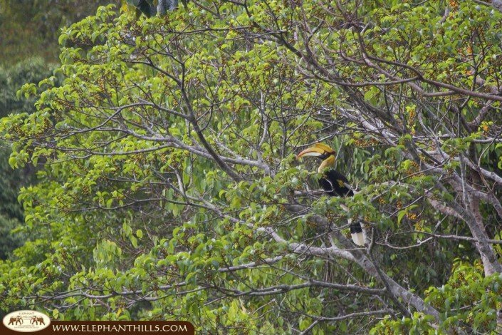 A great hornbill in the middle of the trees perfectly showcasing is a large bird its very large bill, which bears a sizable, brightly colored, horny growth - the casque