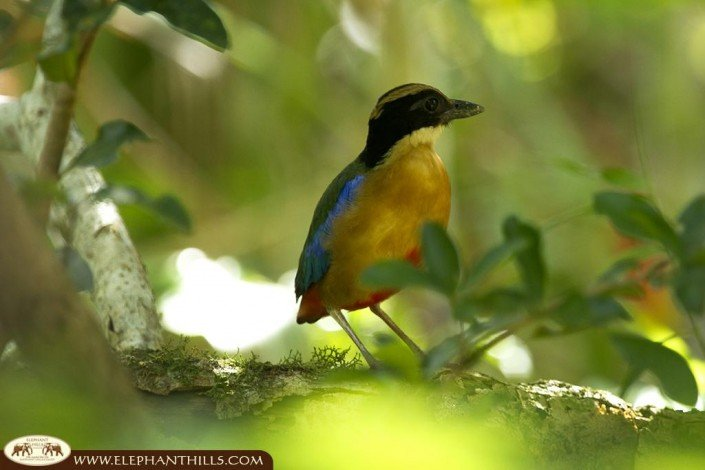 A colorful blue-winged pitta bird sitting on a branch