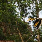 Close shot of a flying great hornbill