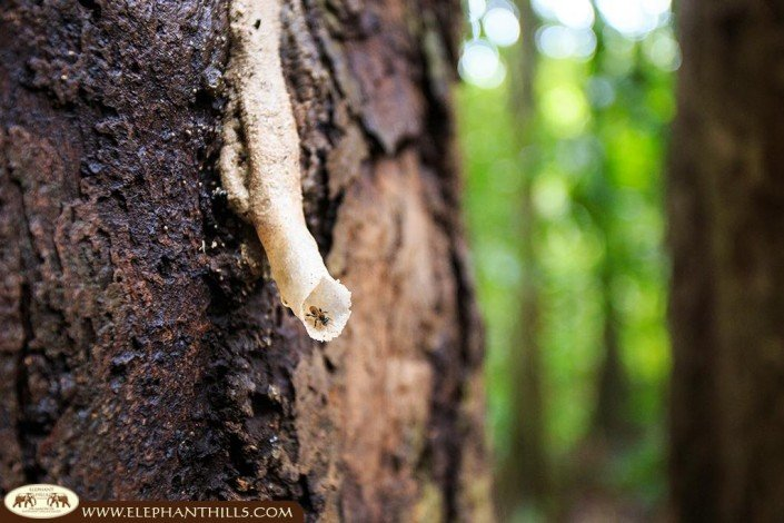 An ant, one of the small rainforest inhabitants, creeping on the dried latex of a rubber tree