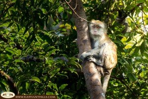 A long-tailed macaque embracing a tree