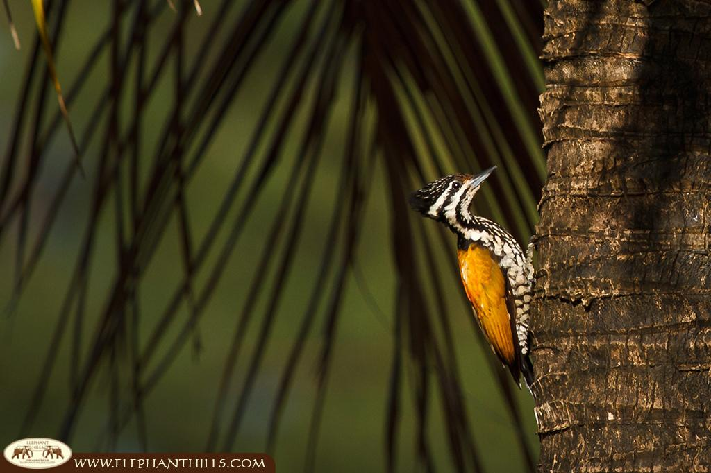 Female common flameback on a tree trunk