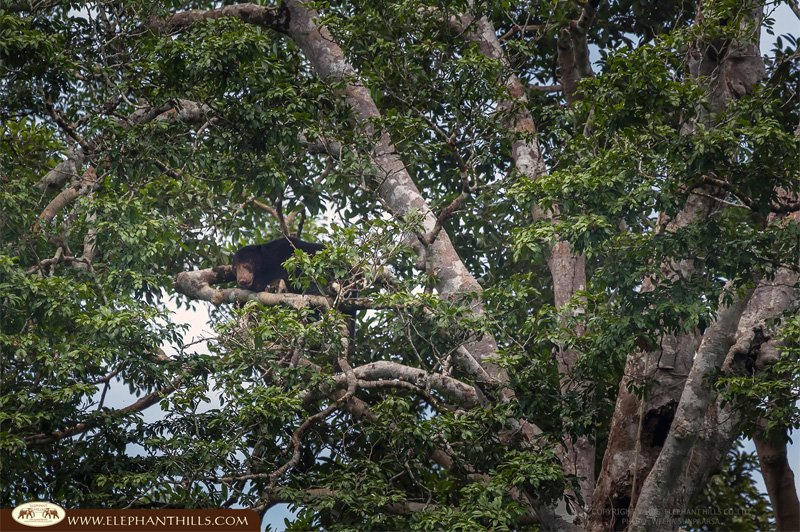 Malayan-sun-bear2