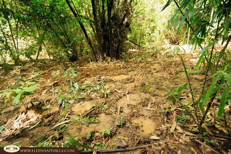 Wild elephant footprints Elephant Hills Khao Sok