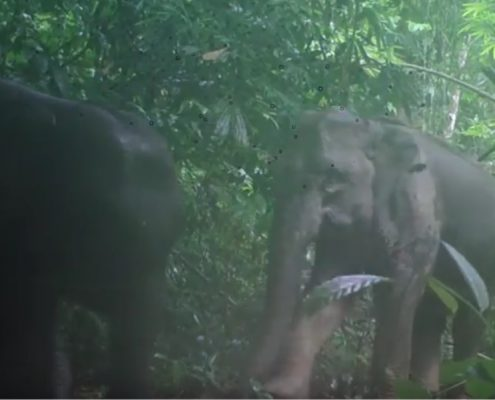 Wild elephant family on Elephant Hills camera traps Khao Sok