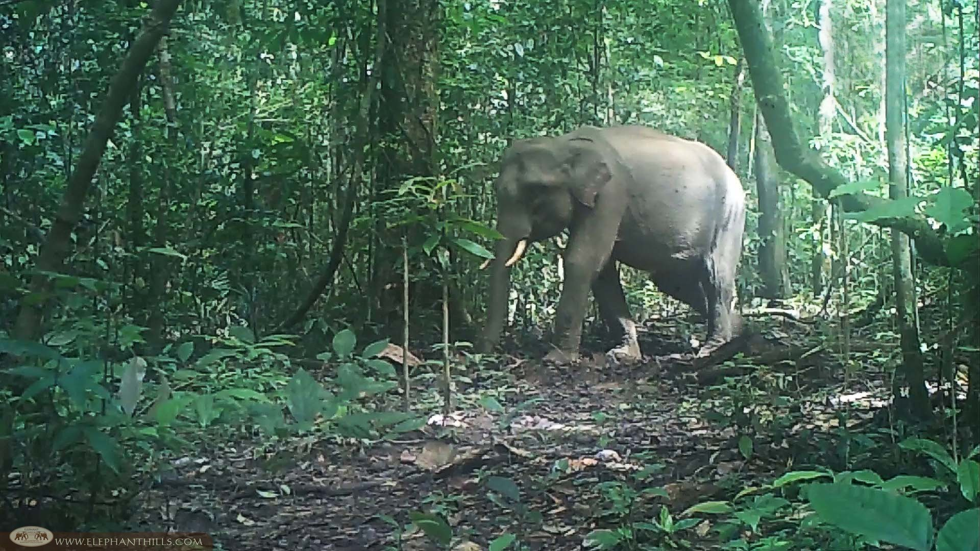 An Unusual Male Elephant Herd Caught On Camera Traps Scroll Saw Wilderness Hills Thailand