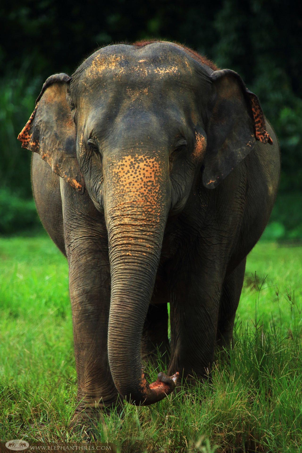 Asian Elephant at Elephant Hills