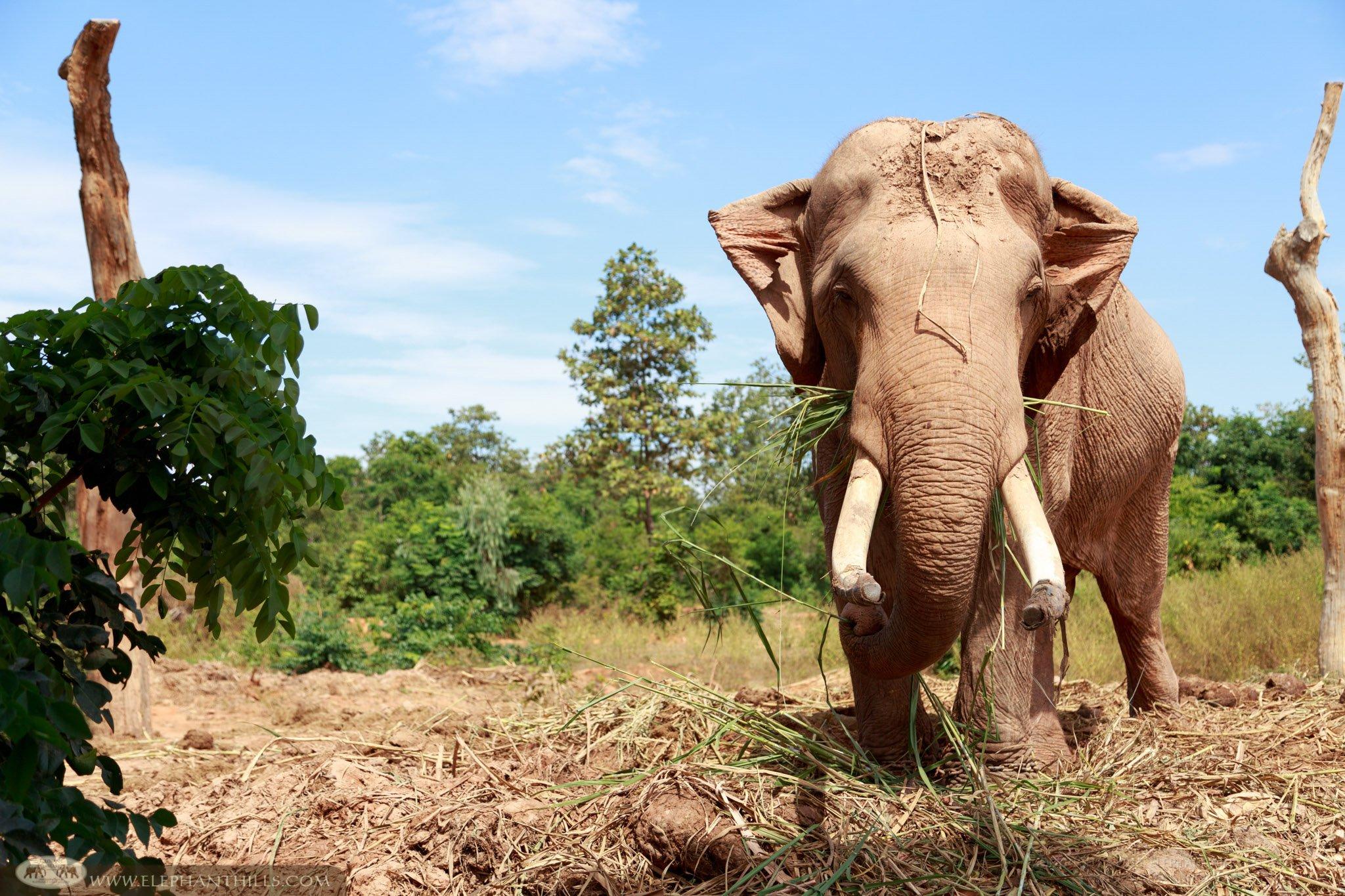 Male Asian elephant enjoys having glasses