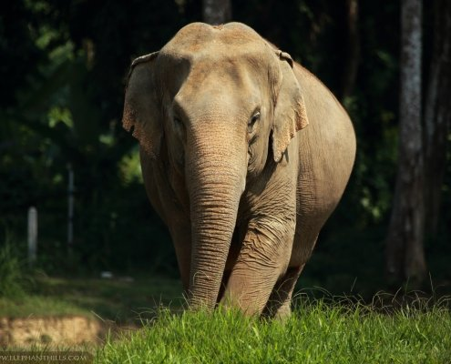 Female elephant at Elephant Hills