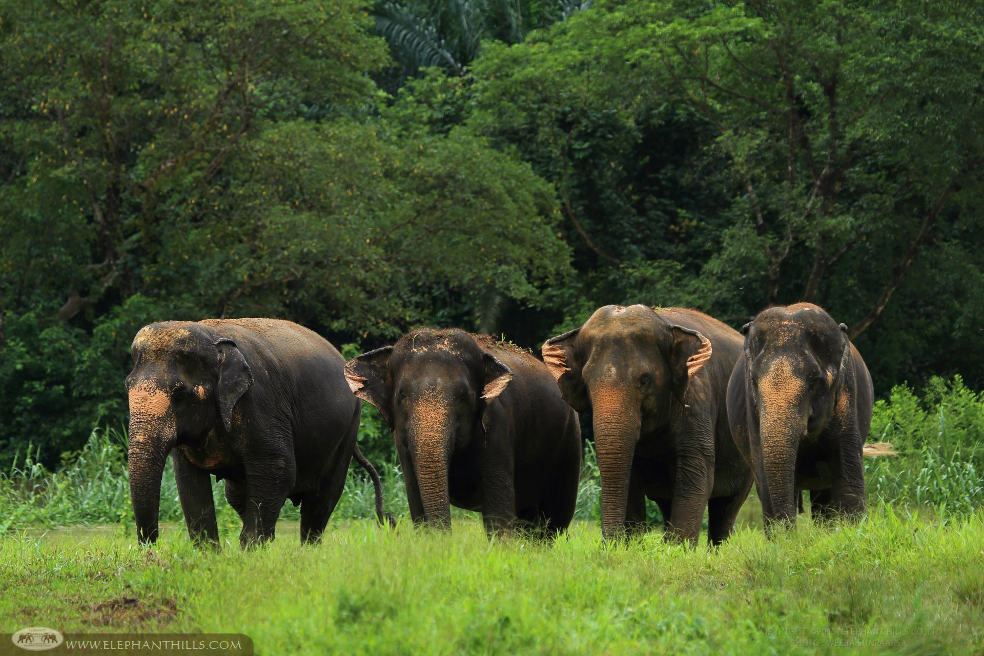A group of female elephants at Elephant Hills