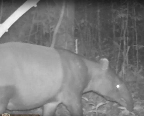 Elephant Hills Wildlife Monitoring Project - Malayan tapir