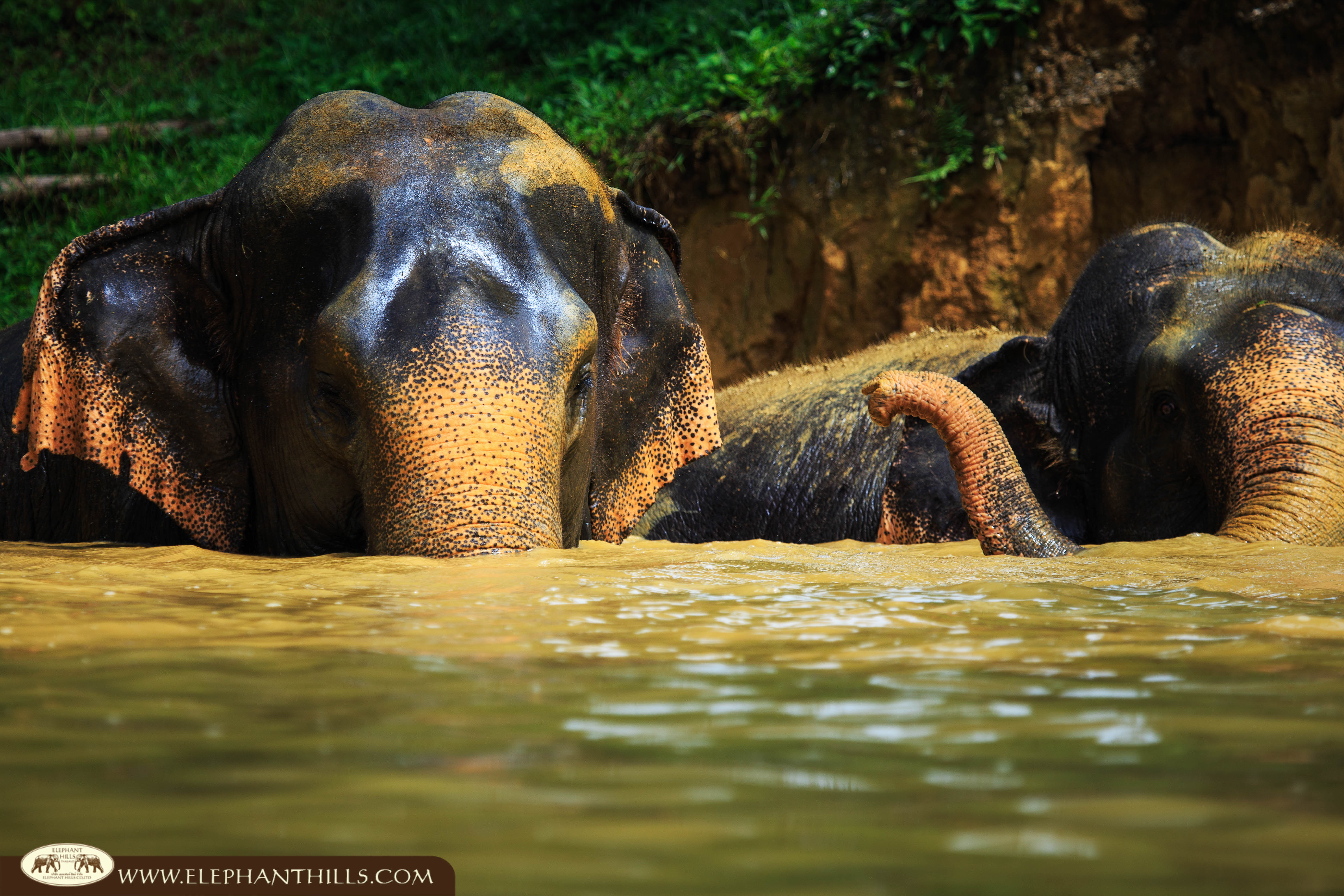 The elephants are enjoy swimming in the pool at Elephant Hills