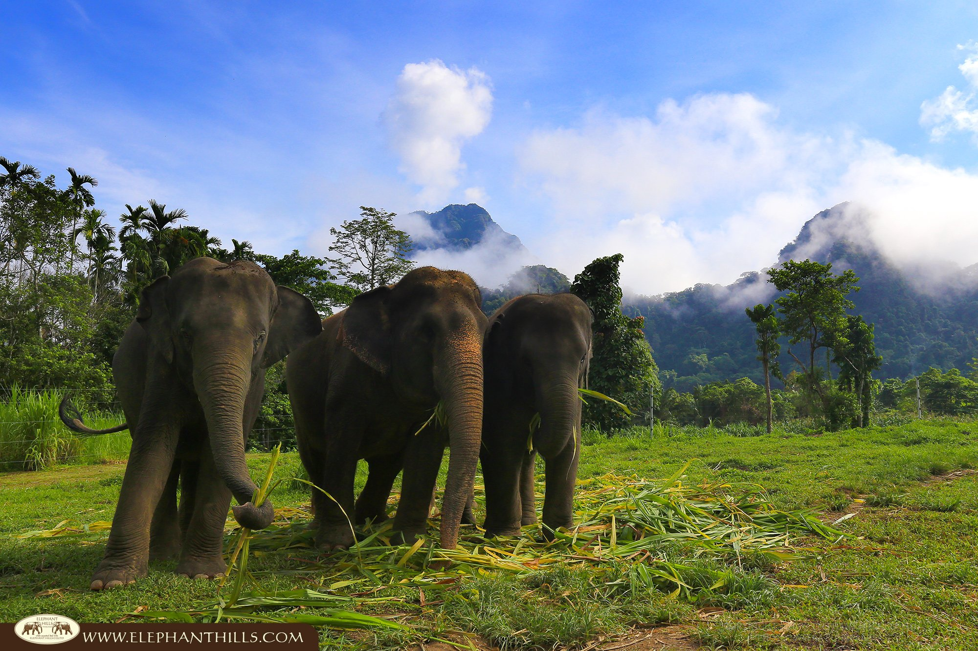 Time for a snack for a trio of elephants at Elephant Hills, Khao Sok