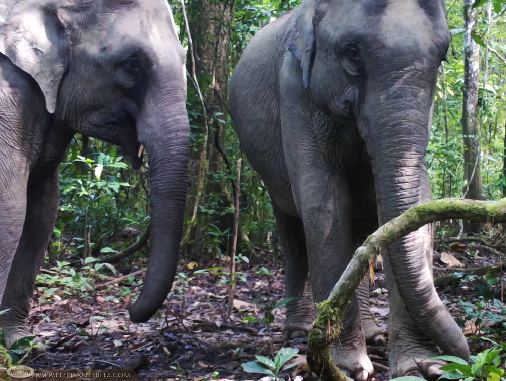Elephant Hills Wildlife Monitoring Project - Wild elephants - Khao Sok