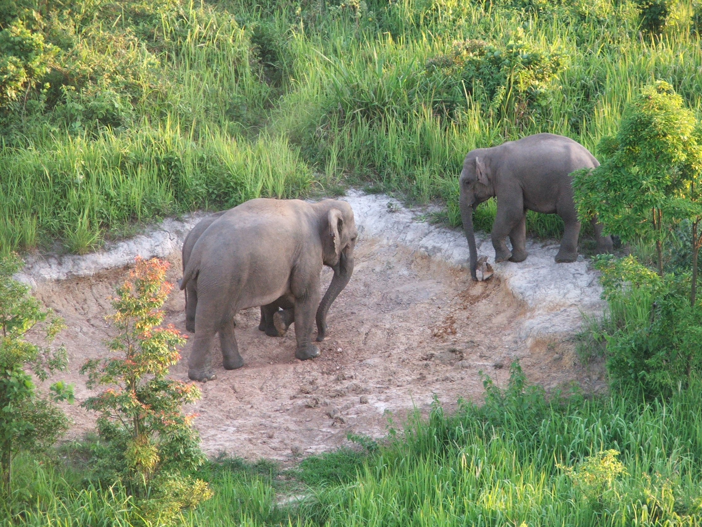 Wild elephants at one of the salt licks in Phu Luang Wildlife Sanctuary. Photo credit: Phu Luang Wild Elephant Food Plant Rehabilitation Project