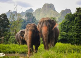 Elephant in Thai